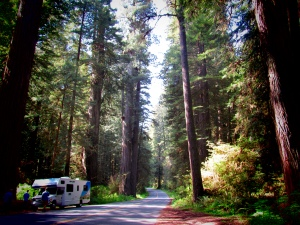 the RV in amongst the giant Redwoods